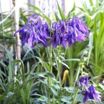daylilies and perennials