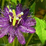 purple passionfruit flower on evergreen vine