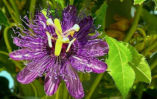 purple passionfruit flower on evergreen vine