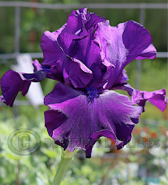 Tall bearded iris pot black flowering in the sunshine