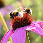 Echinacea purpurea coneflower attracted to bees