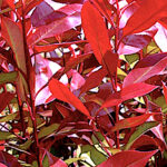 Nice new red growth in photinia shrub
