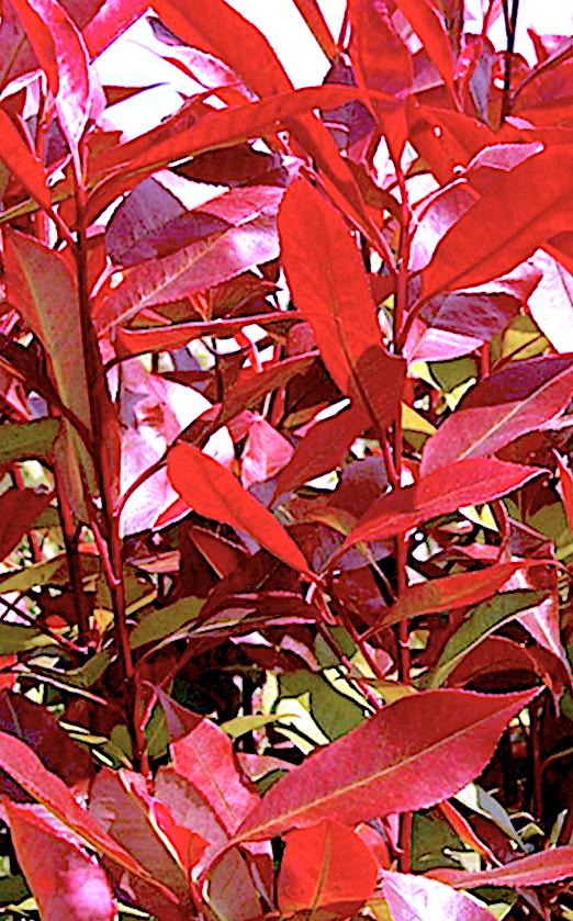 Nice new red growth in photinia shrub
