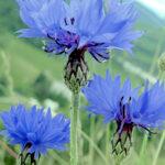 Cornflower blue Bachelors Button
