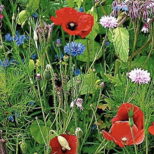 Picture of cottage garden seed mix