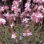 Gaura Rosie Jane white flowers picotee edge