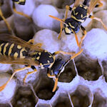 Australian wasps at work