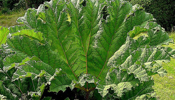 Gunnera manicata giant ornamental rhubarb leaf