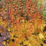 Heuchera Coral Bells in bloom